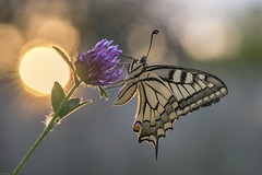 *Summer stories* (Albert Wirtz @ Landscape and Nature Photography) Tags: swallowtail schwalbenschwanz sunrise sonnenaufgang natur nature natura butterfly albertwirtz macro sun sonne blendenreflexe makrofoto summer sommer kleeblüte cloverbloom bloom gegenlicht backlight summerstories sommergeschichten flickrdiamond papilionidae