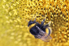 Buzzy Friend (tact1) Tags: flower unedited macro cannon6d insect pollen kent sunflower bee