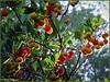 Comme un arbre de Noël naturel : l'arbousier (bleumarie) Tags: automne2017 leboulou mariebousquet mididelafrance suddelafrance bleumarie catalogne fuji méridional nature pyrénéesorientales roussillon sud photomariebousquet flore bois forêt méridionnal végétation végétal végétationméridionnale végétationméditéranéenne méditerranée parc centrelevallespir vert verdure arbousier arbre arbuste couleur coloré fleur fruit feuille branche branchage macro bokeh rouge jaune orange feuillage
