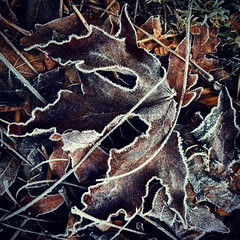 Dead Maple Leaves and Frost (Robert_Brown [bracketed]) Tags: robertbrown portland oregon vermonthills instagram squareformat samsungs8 cellphone mobilephone phone winter leaves frost frozen cold nature