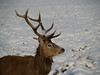 """""""Have you got my best side?"""" (paratoots) Tags: scotland highlands stag deer wildlife snow winter"""