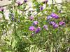 GaspePeninsula01 (alicia.garbelman) Tags: gaspesie quebec canada forillonnationalpark flowers