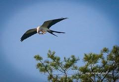 In-Flight Snack (tclaud2002) Tags: kite bird birdofprey prey fly flying flight wildlife nature mothernature trees outdoors greayoutdoors pineglades naturalarea pinegladesnaturalarea jupiter florida usa