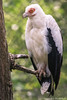 Palm-nut vulture (Alexandre D_) Tags: palmisteafricain gypohieraxangolensis gypohierax angolensis vautour vulture palm palmnut blackandwhite black white bird birds birdofprey oiseau oiseaux animal animals animalia aves bokeh bokehlicious bokehoftheday beyondbokeh canon eos 70d sigma sigma120400mmf4556oshsm 120400mm portrait closeup feathers beak eyes eye tree nature natural naturallight availablelight outdoor outside belgium belgique pairidaiza zoo sun sunnyday weather bokehballs details palmnutvulture europe europa