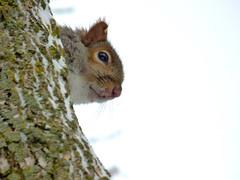 Peek-a-boo (mrsparr) Tags: squirrel tree dof animal humberbayparkeast toronto ontario canada theflickrlounge weeklytheme texture textures ruleofthirds friendlychallenges