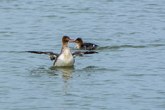 Hooded Mergansers (hmthelords) Tags:
