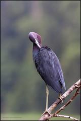Reddish ergret (G. Postlethwaite esq.) Tags: costarica dof tortaguero beyondbokeh bird bokeh branch centralamerica depthoffield feathers photoborder reddistegret selectivefocus