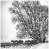Shelter (Ingmar Vermolen) Tags: together cold netherlands bw blackandwhite wind winter trees landscape shelter horses blizzard snow