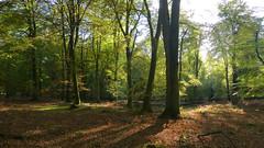 New Forest NP, Hampshire, England (east med wanderer) Tags: england hampshire uk newforestnationalpark nationalpark forest woodland markashwood beech oak