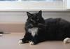 """You know I am your favorite long-haired, polydactyl tuxedo cat in the world."" (rootcrop54) Tags: batman longhaired polydactyl tuxedo male furry neko macska kedi 猫 kočka kissa γάτα köttur kucing gatto 고양이 kaķis katė katt katze katzen kot кошка mačka gatos maček kitteh chat ネコ cc100 cc500"