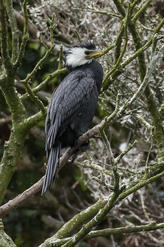 Little Pied Cormorant - Stewart Island - New Zealand_FJ0A7198