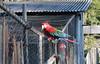 Arara livre e engaiolada (fotojornalismoespm) Tags: pássaros livre gaiola engaiolado sítio