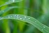 Green (LuckyMeyer) Tags: gras grün green wasser tropfen water drop rain regen summer garden makro