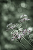 Astrantia Major (Captainchaoz) Tags: astrantia major fuji 55mm f18 m42