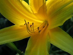 Lily (debstromquist) Tags: lilies yellowlilies flowers momsflowers plano il illinois momshouse flowerpix flowerworld flowerflowerflower colorandcolors flowersmacroworld