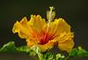 Sfuoco Fuoco Sfuoco - Hibiscus (G.Sartori.510) Tags: pentaxk1 hdpentaxdfa150450mmf4556eddcaw hibiscus stami stamens pistilli pistils