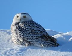 harfang des neiges(snowy owl) (gillesC) Tags: nycteascandiaca