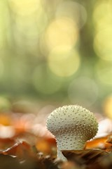 Mushroom (juliendumont2) Tags: mushrooms mushroom fungi toadstool macrophotography macro macrodreams fall leaf bokeh naturephotography nature closeupview closeup fineart canon belgium autumn light sunlight colorful colors forest woods undergrowth inexplore