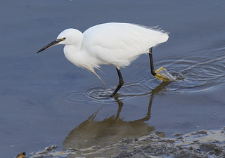LITTLE EGRET ....Kidwelly