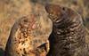 Donna Nook. (richard.mcmanus.) Tags: donnanook atlanticgreyseal seal pinniped mcmanus britishwildlife