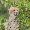 "Cheetah - "" Malika's Cub"" (rosebudl1959) Tags: 2017 kenya masaimara zebraplains cheetah malikascub"