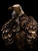 Emperer's new clothes (Elke Bosma-Prins) Tags: artis amsterdam animal vulture blackbackground blackintheback contrast feathers bird bigbird