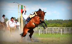 Douglas Garcia (Eduardo Amorim) Tags: gaúcho gaúchos gaucho gauchos cavalos caballos horses chevaux cavalli pferde caballo horse cheval cavallo pferd crioulo criollo crioulos criollos cavalocrioulo cavaloscrioulos caballocriollo caballoscriollos pampa campanha fronteira bagé riograndedosul brésil brasil sudamérica südamerika suramérica américadosul southamerica amériquedusud americameridionale américadelsur americadelsud cavalo 馬 حصان 马 лошадь ঘোড়া 말 סוס ม้า häst hest hevonen άλογο brazil eduardoamorim gineteada jineteada