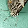 Colobura dirce (Ouwesok) Tags: canoneos30d tamron2890mm sigmaem140dg coloburadirce zebravlinder vlinder insect vlindertuin burgersmangrove