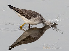 Greater Yellowlegs (Tringa melanoleuca) (jkinglet2) Tags: greateryellowlegs nisqually nisquallynationalwildliferefuge shorebird wader yellowlegs