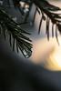 Season's Greetings (grus_p) Tags: seasonsgreetings winter sunlight spruce frozen icedrop tree beautyofnature tranquillity calmness december luminanceboréale finland