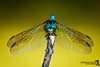 HERE'S LOOKING AT YOU, KID (The Suss-Man (Mike)) Tags: albany doughertycounty georgia nature sonyalphadslra200 thesussman dragonfly insect macro
