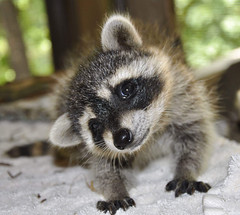 How Slack makes use of a raccoon to maintain distractions on Slack at bay (takenews) Tags: animalsinthewild animalwildlife raccoon younganimal cute outdoors day oneanimal animalthemes focusonforeground closeup frontview animalhead mammal lookingatcamera zoology looking snout nopeople