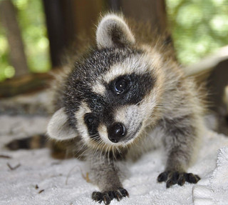 How Slack makes use of a raccoon to maintain distractions on Slack at bay