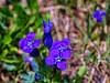 Violet Flowers, Libby Lake (walter_g) Tags: sonya6000 minoltamc24mmf28 rawtherapee53 gimp296 nikcolorefexpro