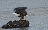 Dining on the water (nickinthegarden) Tags: americanbaldeagle baldeagle eagle nicomenslough fraservalley bc canada
