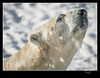"Old but classic ""Victor Portrait"" EXPLORED (cjpk1) Tags: carnovore polar bear white ice snow alaska animal"