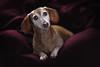 1 January 2018 (Marm O. Set) Tags: blanket dog pet petportrait portrait dachshund doxie weinerdog studio strobist strobe strobes flash flashes softbox umbrella tripod yongnuo yongnuoyn560iii yongnuoyn560tx lighting