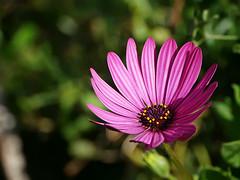 Wonder's of Nature (harmoniouschaos) Tags: flowers purple purpleflower flickrflowers flickrnature flowerporn flickrphotography polen summervibes summer autumn colours colors spain nature outdoor walk
