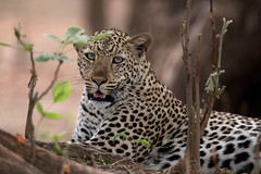 Beauty (Thomas Retterath) Tags: adventure wildlife pukuridge afrika africa zambia sambia southluangwavalley 2017 natur nature allrightsreserved thomasretterath copyrightthomasretterath abenteuer bigfive leopard felidae raubtiere predator carnivore säugetier mammals animals tiere pantherapardus coth5