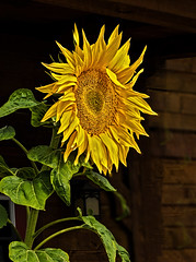 Sunflower (Ruth Voorhis) Tags: blossom petals seeds leaves stems