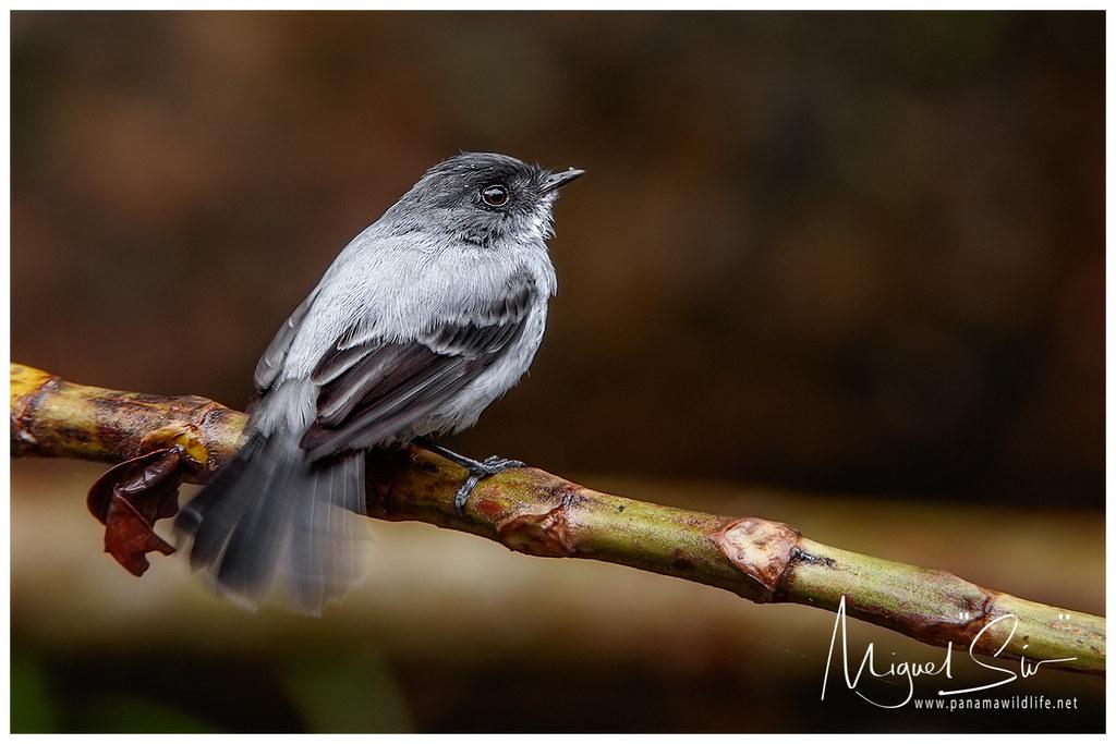 songbirds shame torrent