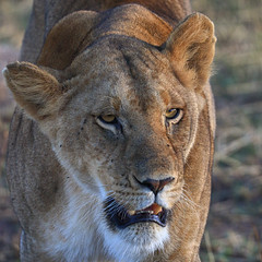 Facing Week Two (AnyMotion) Tags: lion löwe pantheraleo female lioness löwin portrait monayface porträt cat katze 2015 anymotion serengetinationalpark tanzania tansania africa afrika travel reisen animal animals tiere nature natur wildlife 7d2 canoneos7dmarkii square 1600x1600
