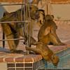 Helping hand (NettyA) Tags: 2017 africa botswana capebaboon chobebushlodge chobenationalpark papioursinus chacmababoon swimmingpool travel wildlife baboonsdrinking