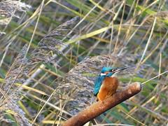Kingfisher  P1520003 (ianpreston) Tags: kingfisher 2017 derbyshire