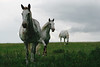 Goritz, mitten in Mecklenburg (feldweg) Tags: goritz pferde schimmel horses cheveaux cheval white kon hest pferd