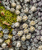 171216 105530 (friiskiwi) Tags: 1670m 5500feet raouliabryoides atthetop awaterevalley marlborough newzealand nz