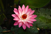 Pink Water Lily (Cathy's Photography) Tags: flower flowers red redcolor redflower redflowers yellowred white whiteflower whiteflowers waterlily canon canon5d canon5dmarkiv markiv ef100400mm 400mm f71 1320s iso200