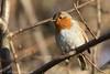 Robins (Dougie Edmond) Tags: robin red breast bird birds nature winter wildlife canon