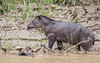 South American Tapir (3 of 3) (tickspics ) Tags: amazonbasin iucnredlistvulnerable manú manúbiospherereserve manúnationalpark manúriver peru southamerica southamericantapir tapirusterrestris tropicalrainforest akalowlandtapir manuriver