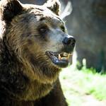 Brown bear face thumbnail